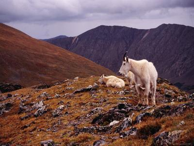 Front Range Mountain Goats on Gray's Peak in the Rockies-Karl Lehmann-Photographic Print