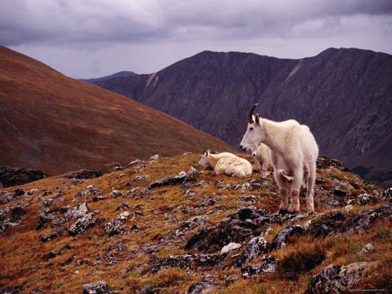 Front Range Mountain Goats on Gray's Peak in the Rockies-Karl Lehmann-Photographic Print