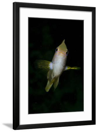 Front View of a Golden Damselfish-Stocktrek Images-Framed Photographic Print