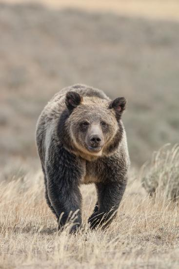 Front View of a Grizzly Bear in a Grass Field-Tom Murphy-Photographic Print