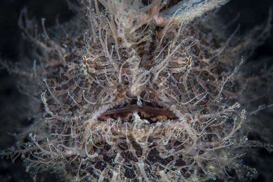 Front View of a Hairy Frogfish-Stocktrek Images-Photographic Print