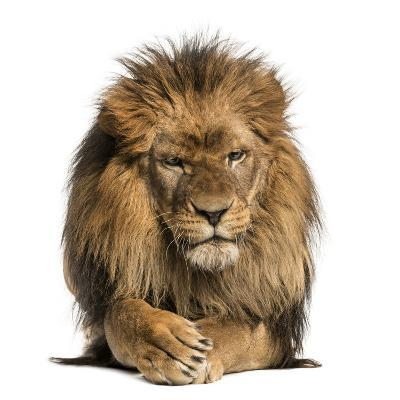 Front View of a Lion Lying, Crossing Paws, Panthera Leo, 10 Years Old, Isolated on White-Life on White-Photographic Print