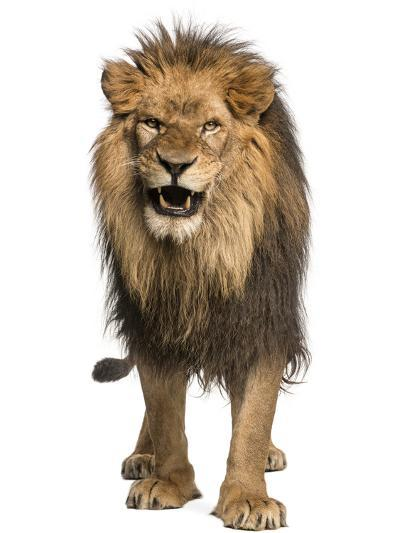 Front View of a Lion Roaring, Standing, Panthera Leo, 10 Years Old, Isolated on White-Life on White-Photographic Print