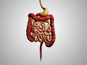 Front View of Human Digestive System