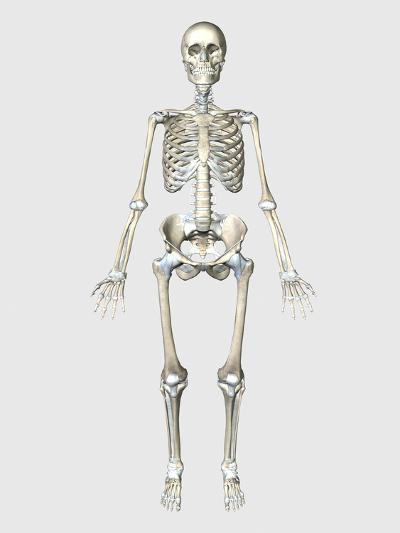 Front View of Human Skeletal System-Stocktrek Images-Art Print