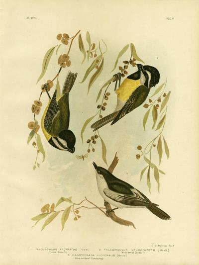 Frontal Shrike-Tit or Crested Shrike-Tit, 1891-Gracius Broinowski-Giclee Print