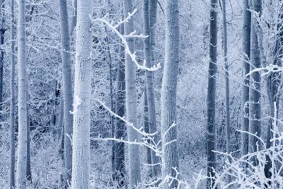 Frost Coated Birch Forest Near Knik River Mat-Su Valley Southcentral Alaska Winter-Design Pics Inc-Photographic Print
