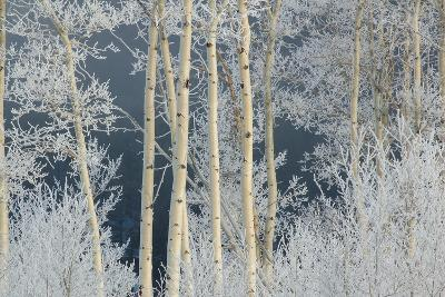 Frost Coated Branches on Aspen Trees-Tom Murphy-Photographic Print