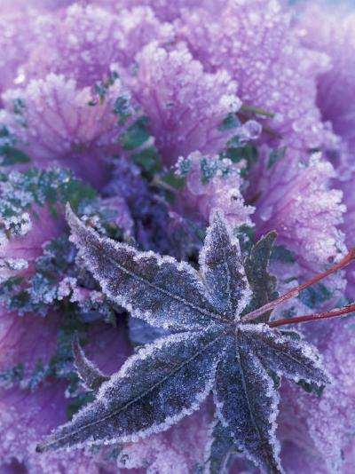 Frost-covered Shrubs and Maple Leaf, Washington, USA-Michele Westmorland-Photographic Print