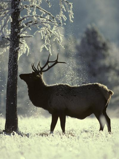 Frost Falls as a Young Elk Nudges the Dead Pine, Yellowstone National Park, Wyoming-Michael S^ Quinton-Photographic Print