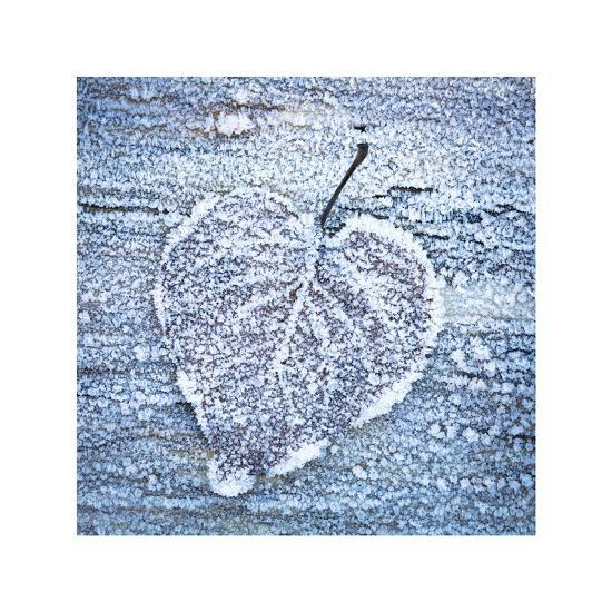 Frost on Alder Leaves 5-Don Paulson-Giclee Print