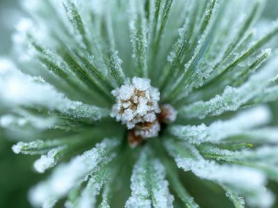 Frost on Scots Pine Needles-Mark Hamblin-Photographic Print