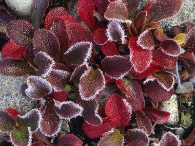 https://imgc.artprintimages.com/img/print/frosted-alpine-bearberry-leaves-in-the-fall_u-l-p4ovxa0.jpg?p=0