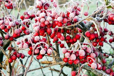 Frosted Viburnum Fruit-Dr. Keith Wheeler-Photographic Print