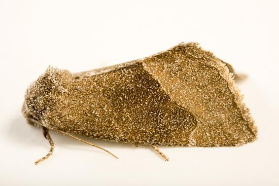 Frothy moth, Plagiomimicus spumosum-Joel Sartore-Photographic Print
