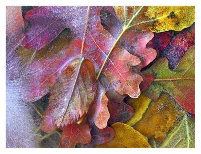 https://imgc.artprintimages.com/img/print/frozen-autumn-leaves-north-america_u-l-f7if430.jpg?p=0