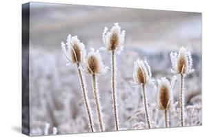 Frozen Icy Flowers in Winter. Rime or Hoar Frost on Teasel (Dipsacus Sylvestris) on Foggy Winter Da