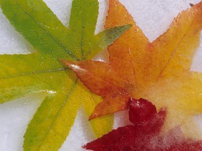 Frozen Maple Tree Leaves-Daisy Gilardini-Photographic Print