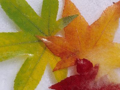 https://imgc.artprintimages.com/img/print/frozen-maple-tree-leaves_u-l-pxpqia0.jpg?p=0