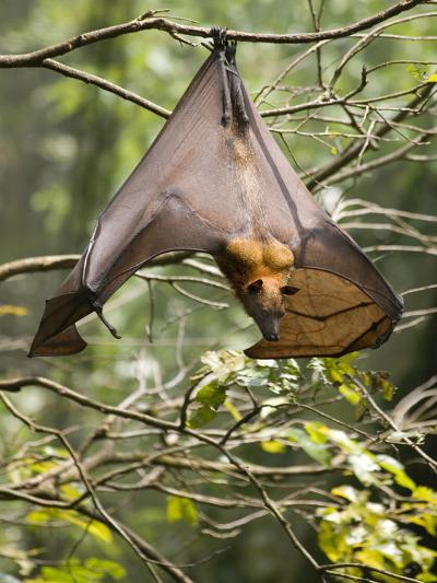 Fruit Bat (Flying Fox) (Chiroptera, Pteropodidae)-Rolf Richardson-Photographic Print