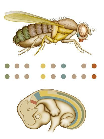 Fruit Fly And Fetus Genetic Similarities-Mikkel Juul-Photographic Print