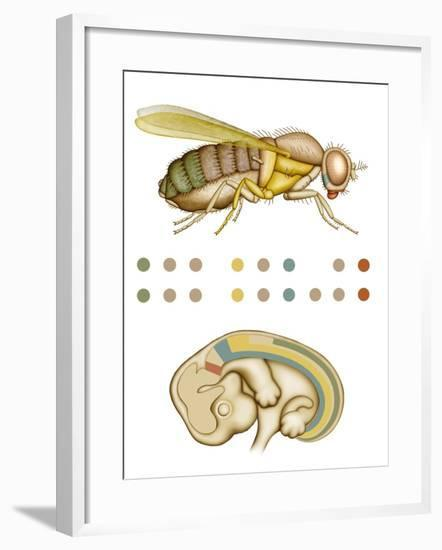 Fruit Fly And Fetus Genetic Similarities-Mikkel Juul-Framed Photographic Print