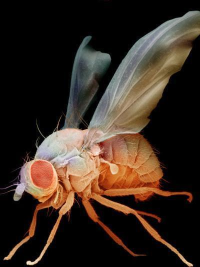 Fruit Fly, Drosophila Melanogaster, an Important Laboratory Organism in Genetics-David Phillips-Photographic Print