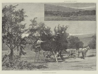 Fruit-Gathering in California-Charles Auguste Loye-Giclee Print