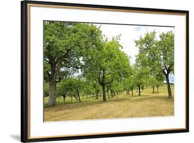 Fruit trees near Merzkirchen, Saargau, Rhineland-Palatinate, Germany, Europe-Hans-Peter Merten-Framed Photographic Print