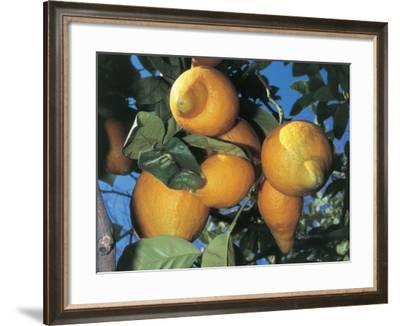 Fruits on a Citron Tree (Citrus Medica)-C^ Sappa-Framed Photographic Print
