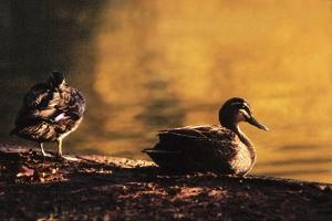 Ducks at Sunrise by FS Studio