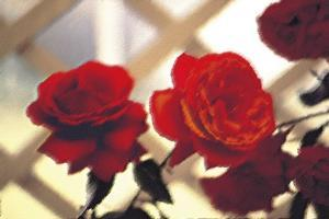 Red Roses on Lattice by FS Studio