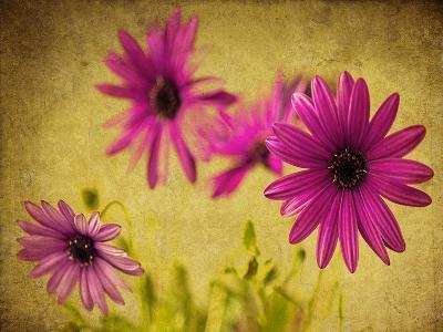 Fuchsia Daisy II-Honey Malek-Photographic Print
