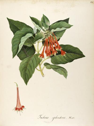 Fuchsia Splendens Zucc--Giclee Print