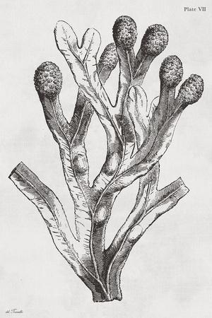 https://imgc.artprintimages.com/img/print/fucus-vesiculosus-noir_u-l-f96z3d0.jpg?p=0