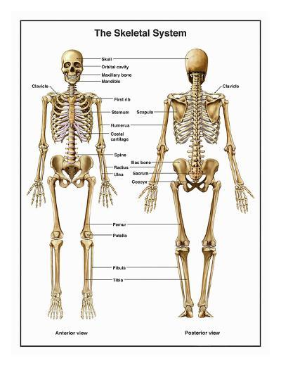 Full-Body Anterior and Posterior Anatomy of the Human Skeletal System-Nucleus Medical Art-Giclee Print