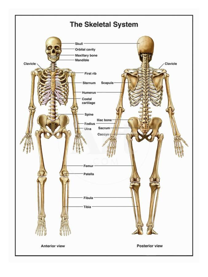 Full Body Anterior And Posterior Anatomy Of The Human Skeletal