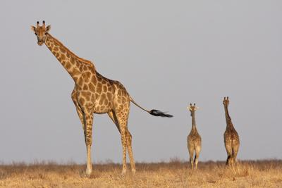 https://imgc.artprintimages.com/img/print/full-body-portrait-of-a-giraffe-with-its-tail-in-the-air-and-two-other-giraffe-in-the-distance_u-l-q19moxf0.jpg?p=0