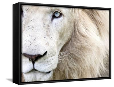 Full Frame Close Up Portrait of a Male White Lion with Blue Eyes.  South Africa.-Karine Aigner-Framed Canvas Print