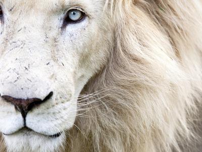 Full Frame Close Up Portrait of a Male White Lion with Blue Eyes.  South Africa.-Karine Aigner-Premium Photographic Print