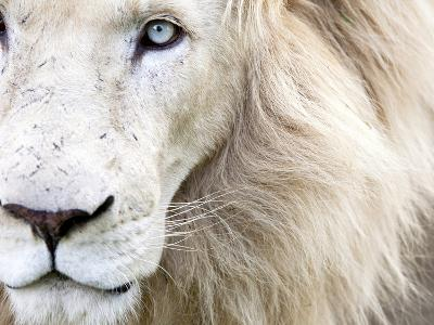 Full Frame Close Up Portrait of a Male White Lion with Blue Eyes.  South Africa.-Karine Aigner-Photographic Print