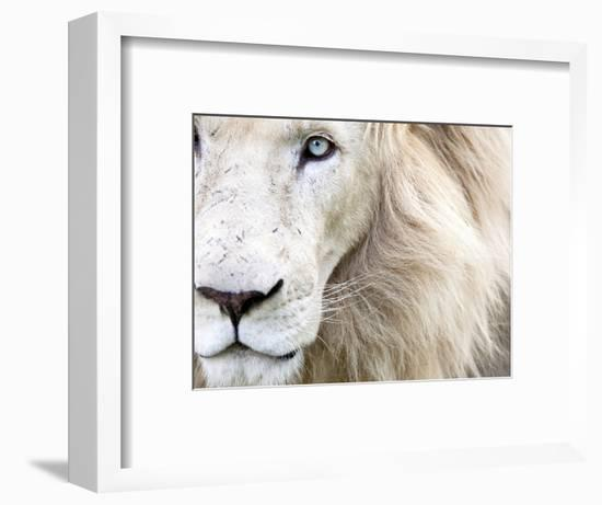 Full Frame Close Up Portrait of a Male White Lion with Blue Eyes.  South Africa.-Karine Aigner-Framed Photographic Print