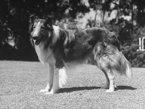 """Full-Length Side View of Collie """"Lassie"""""""