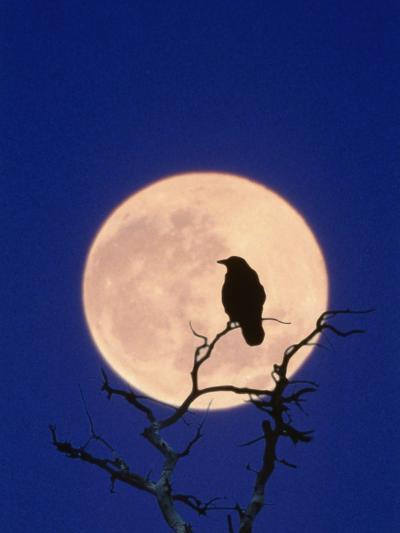Full Moon over Raven in Tree-Aaron Horowitz-Photographic Print