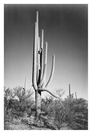 Full view of cactus and surrounding shrubs, In Saguaro National Monument, Arizona, ca. 1941-1942-Ansel Adams-Art Print