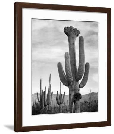 Full view of cactus with others surrounding, Saguaros, Saguaro National Monument, Arizona, ca. 1941-Ansel Adams-Framed Art Print