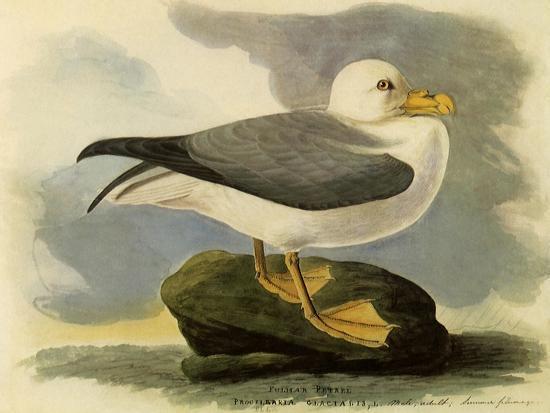 Fulmar-John James Audubon-Giclee Print