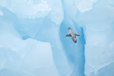 Fulmer (Fulmras Glacialis) In Flight Near Blue Glacier, Svalbard, July-Danny Green-Photographic Print