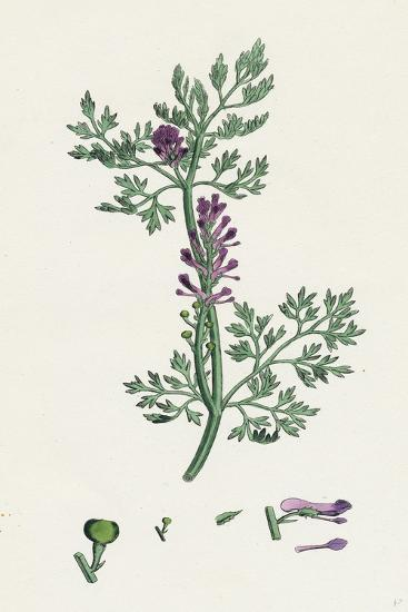 Fumaria Officinalis Common Fumitory--Giclee Print