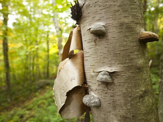 Fungi on a White Birch Tree in the High Peaks Region-Michael Melford-Photographic Print